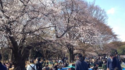 japan-network-hanami-cherry-blossom-viewing-3-26-16-3