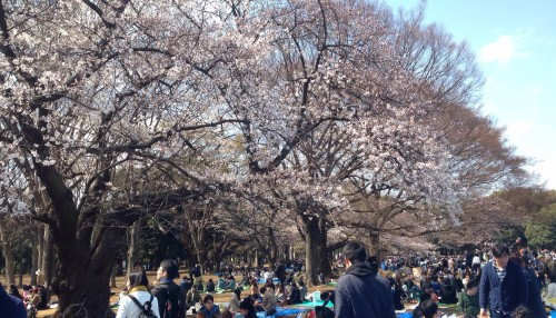 japan-network-hanami-cherry-blossom-viewing-3-26-16-3